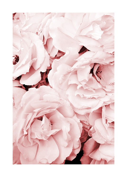 Close Up Pink Roses Poster / Fotografia presso Desenio AB (11793)
